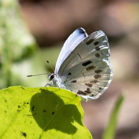 Thought we had a new species but, alas, it is an aberrant Summer Azure identified by an Azure expert friend of Adrienne Frank.