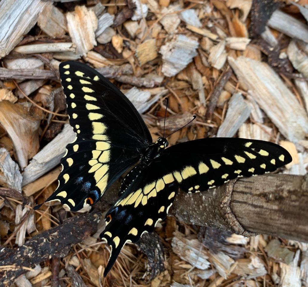 black swallowtail by carol kauffman